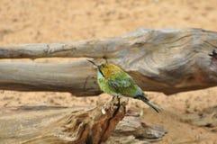 Pequeño Abeja-comedor verde (orientalis del Merops) Imagen de archivo
