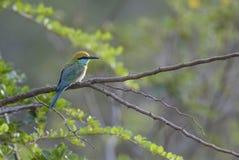 Pequeño Abeja-comedor verde - orientalis del Merops, Sri Lanka Foto de archivo libre de regalías