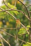 Pequeño Abeja-comedor verde, parque nacional de Taman Negara, Malasia Imagenes de archivo