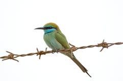Pequeño Abeja-comedor verde que se encarama en el alambre de púas en el emirat de Sharja Fotos de archivo