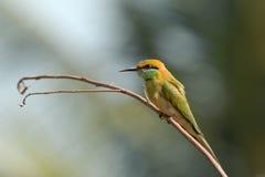 Pequeño Abeja-comedor verde que se encarama en Goa, la India Fotos de archivo
