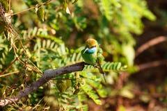 Pequeño abeja-comedor verde que se sienta en árbol Fotos de archivo