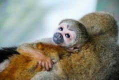 Pequeño abrazo del mono del bebé su mamá Imagenes de archivo