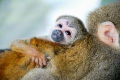 Pequeño abrazo del mono del bebé su mamá Foto de archivo
