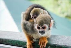 Pequeño abrazo del mono del bebé su mamá Fotografía de archivo