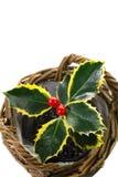Pequeño acebo de la planta en un pote Imágenes de archivo libres de regalías