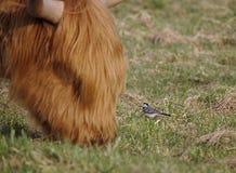 Pequeño aguzanieves que se coloca delante de una vaca de pasto enorme de la montaña Imagen de archivo libre de regalías