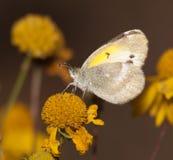 Pequeño amarillo diminuto, mariposa de Eurema Lisa Imagen de archivo