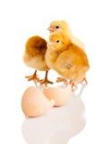 Pequeño animal del pollo aislado Fotos de archivo