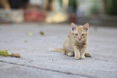 Pequeño animal doméstico tomatoesLoyal y adorable Imagen de archivo libre de regalías