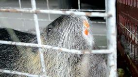 Pequeño animal gris con el diente anaranjado en jaula bajo avaricia del metal, almacen de video