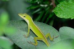 Pequeño Anole verde (carolinensis del Anolis) horizontal en una hoja sabia Fotos de archivo
