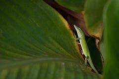 Pequeño Anole verde destacado entre las hojas verdes fotografía de archivo libre de regalías