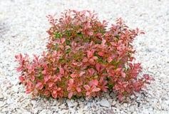 Pequeño arbusto con las hojas verdes y del rojo Foto de archivo libre de regalías