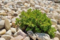 Pequeño arbusto en piedras fotografía de archivo libre de regalías