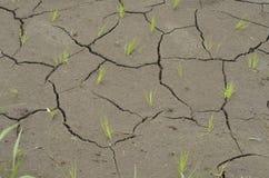 Pequeño arroz Seedlinks que mira a escondidas de suelo agrietado Fotografía de archivo libre de regalías