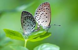 Pequeño azul de las mariposas Fotos de archivo