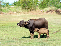 Pequeño búfalo con su madre que se coloca en hierba verde Fotos de archivo