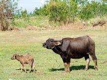 Pequeño búfalo con su madre que se coloca en hierba verde Fotografía de archivo