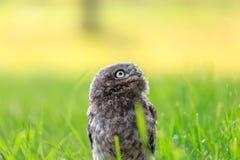 Pequeño búho en la hierba Imagen de archivo libre de regalías