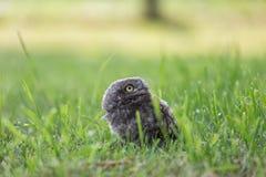 Pequeño búho en la hierba Fotografía de archivo libre de regalías