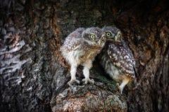 Pequeño búho en un árbol Fotografía de archivo libre de regalías