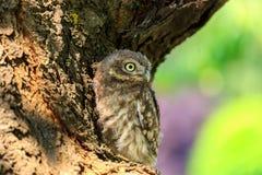 Pequeño búho en un árbol Fotos de archivo libres de regalías