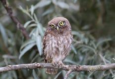 Pequeño búho joven que se sienta en ramas de silverberry Fotografía de archivo libre de regalías