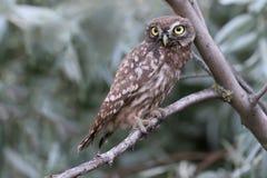 Pequeño búho joven que se sienta en refugio en ramas Foto de archivo libre de regalías