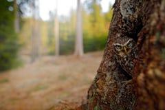 Pequeño búho, noctua del Athene, en el agujero del árbol de la jerarquización en el bosque, Europa Central Retrato del pequeño pá fotos de archivo libres de regalías