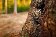 Pequeño búho, noctua del Athene, en el agujero del árbol de la jerarquización en el bosque, Europa Central Retrato del pequeño pá fotos de archivo