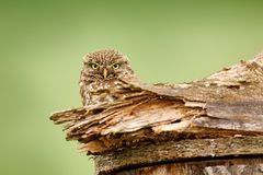 Pequeño búho, noctua del Athene, pájaro en el hábitat con los ojos amarillos, fondo verde del claro, Hungría de la naturaleza Páj fotos de archivo libres de regalías
