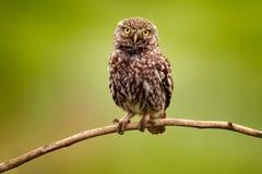 Pequeño búho, noctua del Athene, pájaro en el hábitat de la naturaleza, fondo verde del claro Pájaro con los ojos amarillos, Bulg fotos de archivo