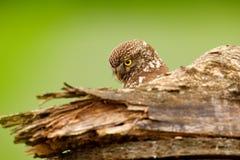 Pequeño búho, noctua del Athene, pájaro en el hábitat de la naturaleza, fondo verde del claro Pájaro con los ojos amarillos, Hung fotografía de archivo