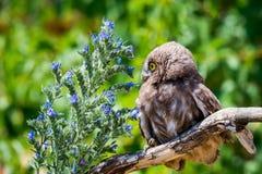 Pequeño búho o noctua del Athene en rama de madera con las flores fotografía de archivo