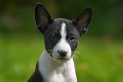 Pequeño basenji del perrito fotos de archivo