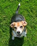 Pequeño beagle en hierba verde foto de archivo