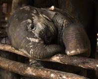 Pequeño bebé del elefante, fauna, mamíferos Imagen de archivo libre de regalías