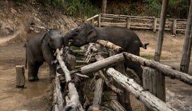 Pequeño bebé del elefante, fauna, mamíferos Foto de archivo