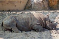 Pequeño bebé durmiente del rinoceronte en el fondo natural de la arena fotos de archivo