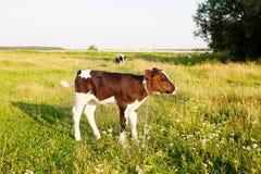 Pequeño becerro en el prado Foto de archivo
