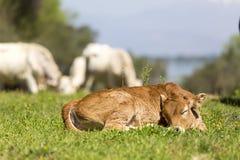 Pequeño becerro lindo que duerme en el prado verde Vaca recién nacida del bebé Imagen de archivo libre de regalías