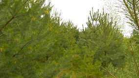 Pequeño bosque de la conífera de los árboles almacen de video