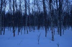 Pequeño bosque del árbol de abedul en día de invierno azul Foto de archivo libre de regalías
