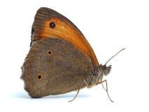 Pequeño brezo buttrefly (pamphilus de Coenonympha) en blanco Foto de archivo libre de regalías