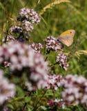 Pequeño brezo que alimenta en el néctar Fotos de archivo