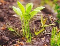 Pequeño brote verde que crece en la tierra, hierba, naturaleza, rural, trabajo Imagen de archivo libre de regalías
