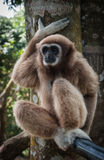 Pequeño Brown Gibbon, Koh Samui, Tailandia Foto de archivo libre de regalías