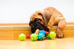 Pequeño bullmastiff del perrito Foto de archivo
