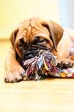 Pequeño bullmastiff del perrito Imagen de archivo